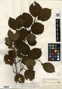 Viburnum scabrellum var. dilutum image