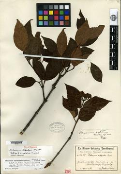 Viburnum blandum image