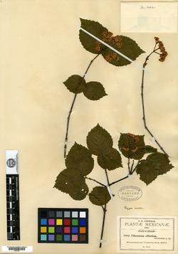 Viburnum ciliatum image