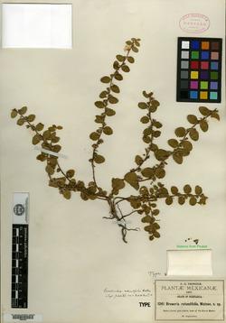 Image of Breweria rotundifolia