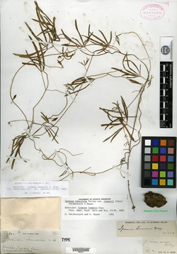 Ipomoea tenuiloba var. lemmonii image