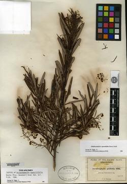 Image of Arctostaphylos oppositifolia