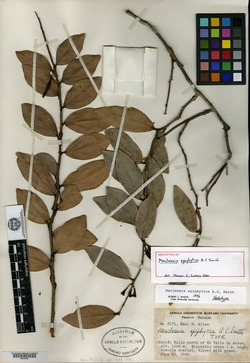 Macleania epiphytica image