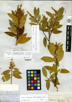 Image of Daboecia cantabrica
