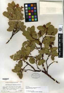 Image of Arctostaphylos pinetorum
