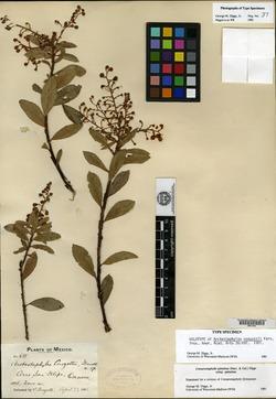 Image of Arctostaphylos conzattii