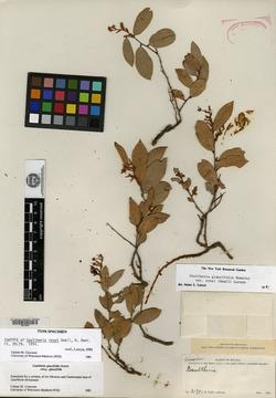 Gaultheria glaucifolia image