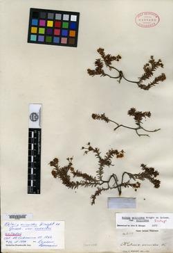 Image of Kalmia ericoides
