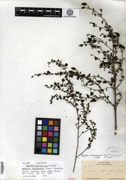 Image of Afzelia chihuahuana
