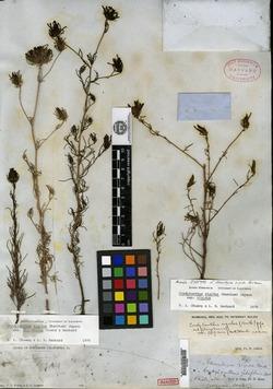 Image of Adenostegia rigida