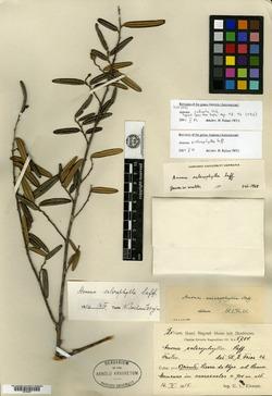Image of Annona sclerophylla