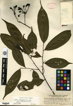 Guatteria dolichopoda image