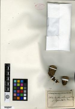 Azorella compacta image