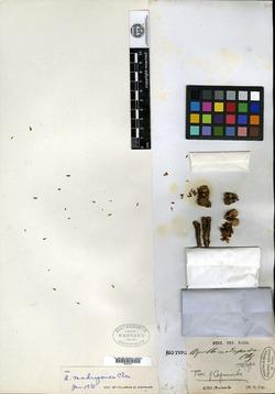 Azorella madreporica image