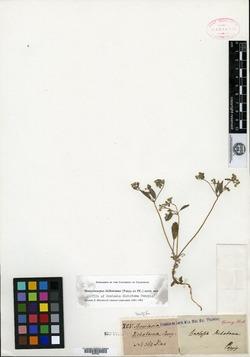 Homalocarpus dichotomus image