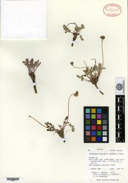 Image of Cymopterus douglasii