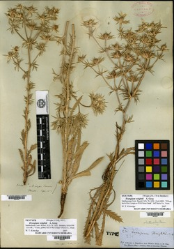 Eryngium heterophyllum image