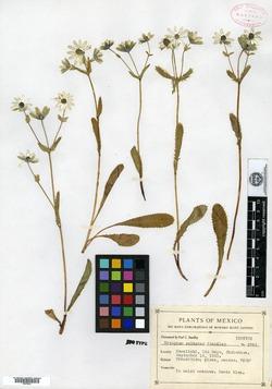 Image of Eryngium calaster