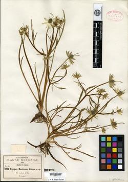 Image of Eryngium mexicanum