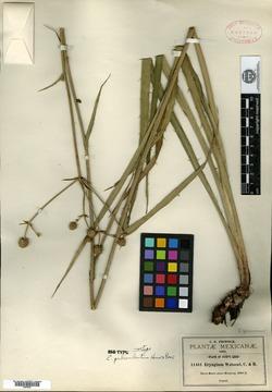 Image of Eryngium gramineum