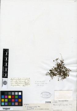 Hydrocotyle pygmaea image