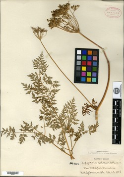 Image of Ligusticum goldmani