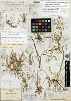 Lilaeopsis schaffneriana image
