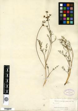 Image of Cogswellia torreyi