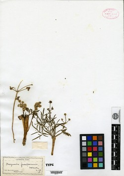 Orogenia image