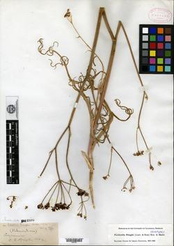 Image of Perideridia pringlei