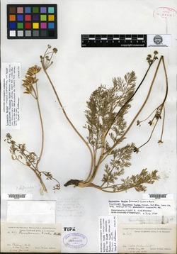 Image of Peucedanum bicolor
