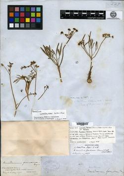 Image of Peucedanum farinosum