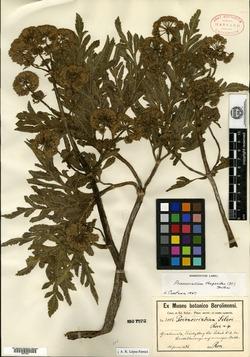Image of Prionosciadium thapsoides
