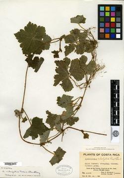 Hydrocotyle ribifolia image