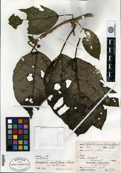 Image of Dendropanax sessiliflorus