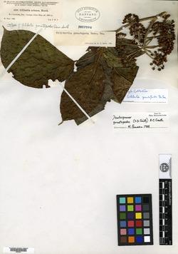 Dendropanax gonatopodus image