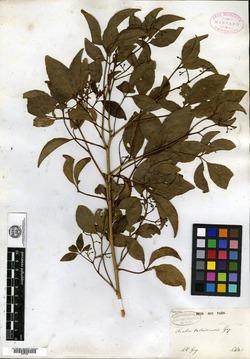 Aralia valdiviensis image