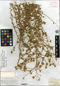 Holocarpha heermannii image