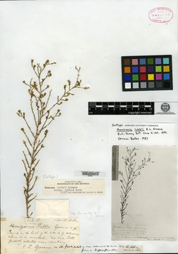 Hemizonia lobbii image