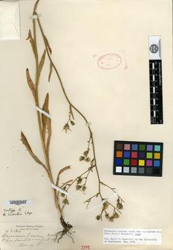 Image of Hieracium cusickii