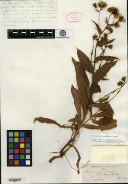 Hieracium longiberbe image