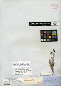 Thymophylla pentachaeta var. hartwegii image
