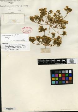 Hymenatherum concinnum image
