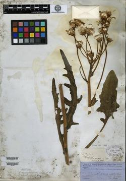 Senecio integerrimus var. major image