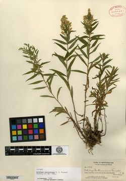 Image of Solidago bartramiana