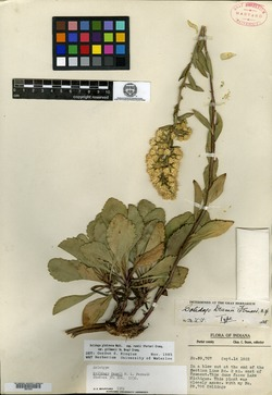 Image of Solidago deamii
