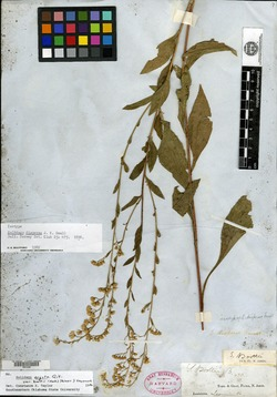 Image of Solidago dispersa