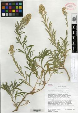 Sphaeromeria ruthiae image