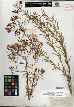 Image of Stevia amabilis