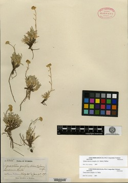 Image of Tanacetum simplex